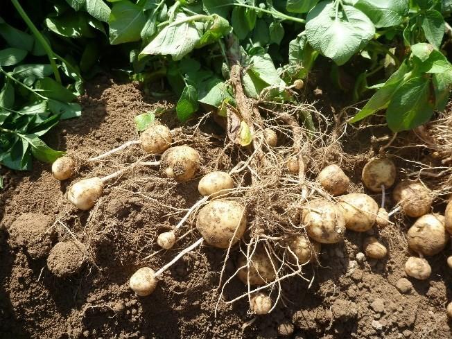 Nieuwe Aardappeloogst